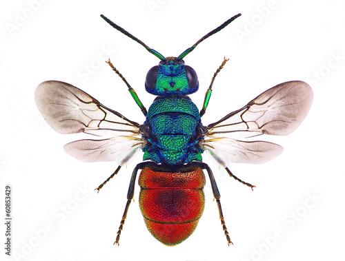 Fotografía  Amazing cuckoo wasp Holopyga punctatissima