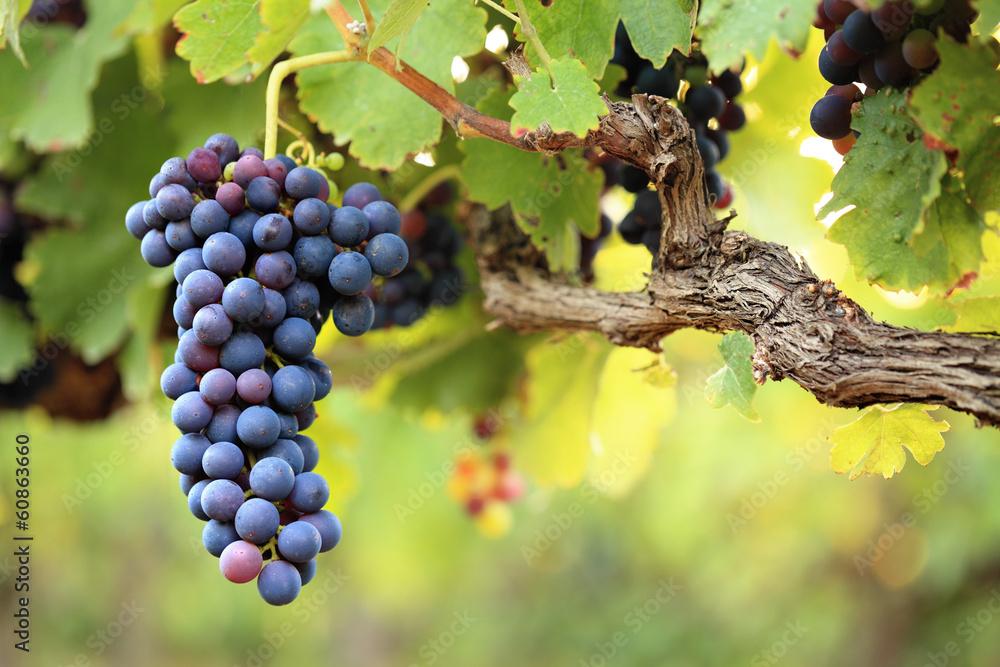 Rotweintrauben auf alten Reben, grüne Blätter Foto, Poster ...