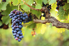 Red Wine Grapes On Old Vine, L...