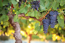 Red Wine Grapes On Old Grape V...