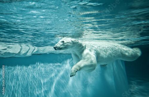 Poster Polar bear Thalarctos Maritimus (Ursus maritimus) - Polar bear