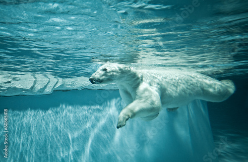 Acrylic Prints Polar bear Thalarctos Maritimus (Ursus maritimus) - Polar bear