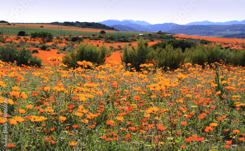 Daisies in Namaqualand