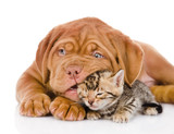 Bordeaux puppy dog playing with  bengal kitten. isolated