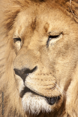 Staande foto Leeuw Portrait Of A Lion