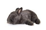 Fototapeta Zwierzęta - Czarny królik