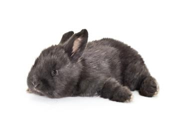 Czarny królik