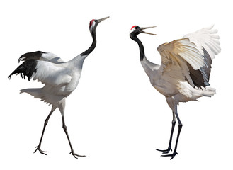couple dancing japanese cranes