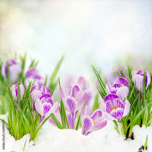 Fotobehang Krokussen spring crocuses under snow