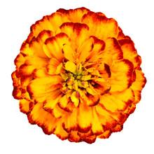 Yellow Orange Marigold Flower ...