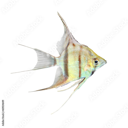 Photo Freshwater Angelfish (Pterophyllum scalare).