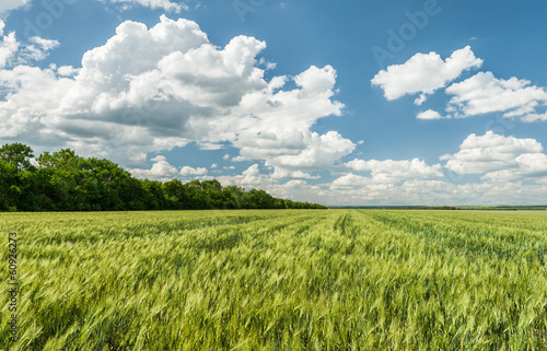 Spoed Foto op Canvas Weide, Moeras green wheat field and blue sky spring landscape
