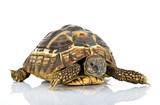 Fototapeta Zwierzęta - Żółw grecki