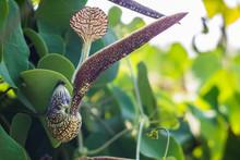Aristolochia Flower