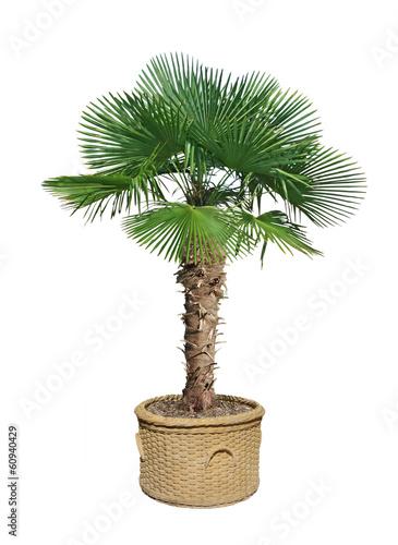 Papiers peints Palmier palmier chamaerops excelsa