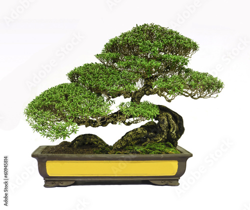 Papiers peints Bonsai Bonsai tree