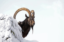Ibex On Top Of A Rock
