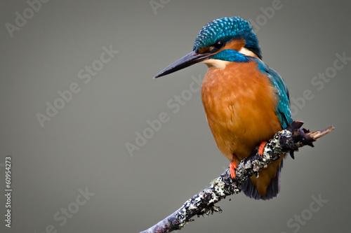 Valokuvatapetti UK Wild Kingfisher