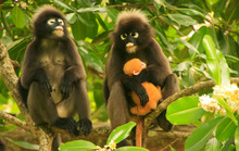 Spectacled Langur Sitting In A Tree With A Baby, Ang Thong Natio