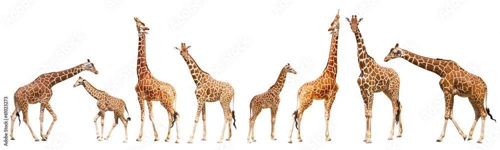 Fototapeta Giraffe (Giraffa camelopardalis)