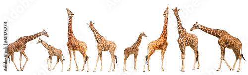 Photo  Giraffe (Giraffa camelopardalis)