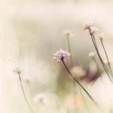 Kwiaty czosnku - 61026693