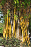 Grupa żółtych bambusów w ogrodzie