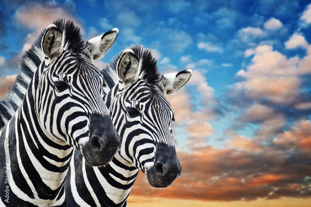 Fototapety, obrazy: Zebras in the wild