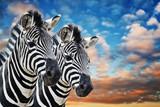 Fototapeta Zebra - Zebras in the wild