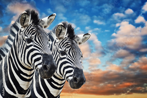 Poster de jardin Zebra Zebras in the wild
