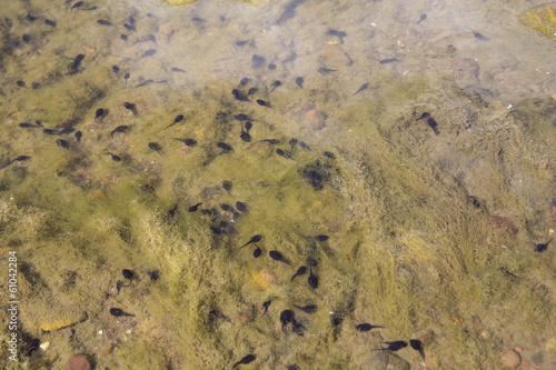 Valokuva  tadpole