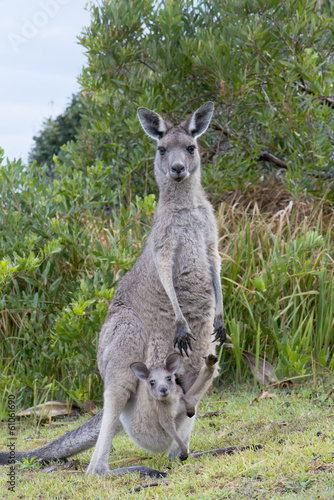 Foto op Canvas Kangoeroe Kangaroo Female With a Baby Joey in Pouch