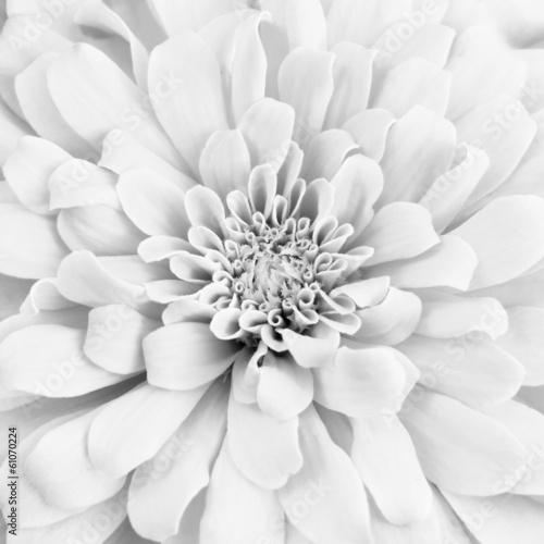 Fototapety, obrazy: White chrysanthemum