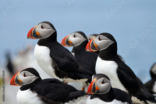 Fotografia  Close-Up of a Colony of Puffin Birds