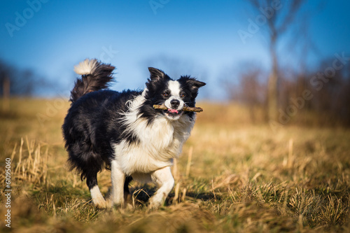 Valokuva border collie to fetch