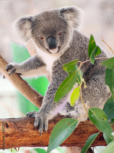 Foto op Aluminium Koala Koala