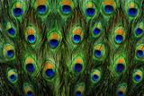 Fototapeta Sypialnia - pattern of colorful peacock feathers
