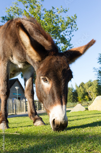 Deurstickers Ezel Donkey grazing