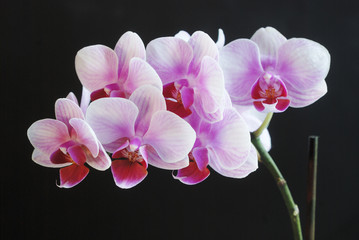 Fototapetabeautiful pink orchid on dark background