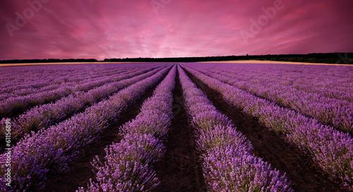 Obraz Krajobraz pola lawendy o zachodzie słońca - fototapety do salonu