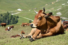 Tarine Cow In The French Alps