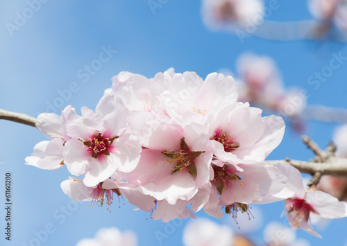 Photo  Pink almond blossom