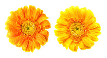 Twin Gerbera Flower Isolated