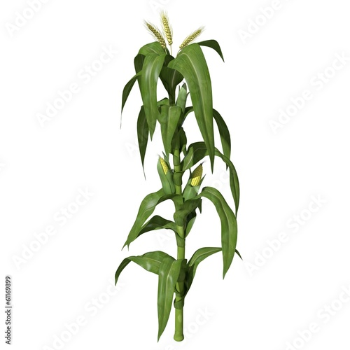 Fotografia  3d illustration of a corn stalk