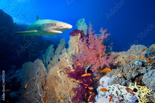 Garden Poster Under water Underwater image of coral reef with shark