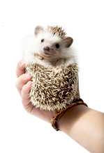 Hedgehog In Hands Isolated On ...