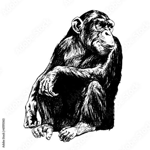 Vászonkép Hand drawing of chimpanzees. Vector Illustration