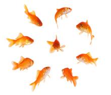Goldfish In A Circle