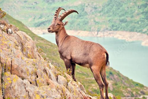 Fotografia  Wilder Steinbock posiert in den Schweizer Alpen