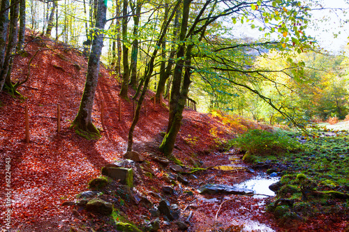 Foto op Aluminium Bordeaux Autumn Selva de Irati beech jungle in Navarra Pyrenees Spain